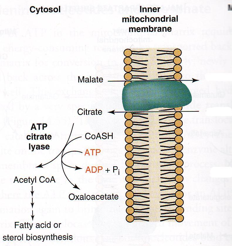 Export of citrate Mitochondrion Malate Citrate