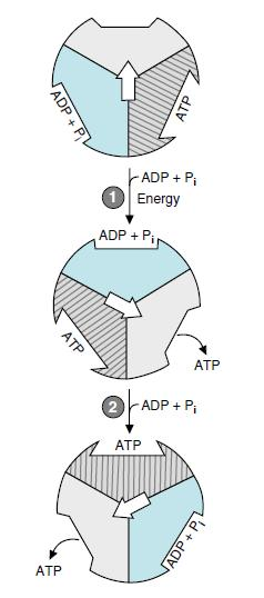 ATP synthesis takes place by changing the -subunits conformation of ATP-synthase.