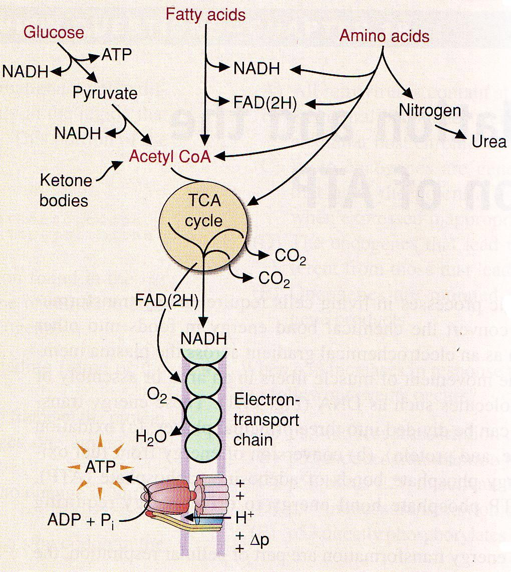 Fate of coenzymes Reduced coenzymes NADH a FADH 2 generated during TCA cycle fatty acid