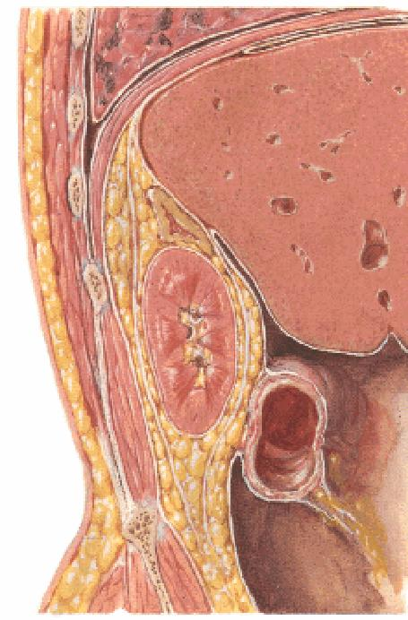 Clinical Anatomy of the Thyroid and Adrenal Glands - PDF