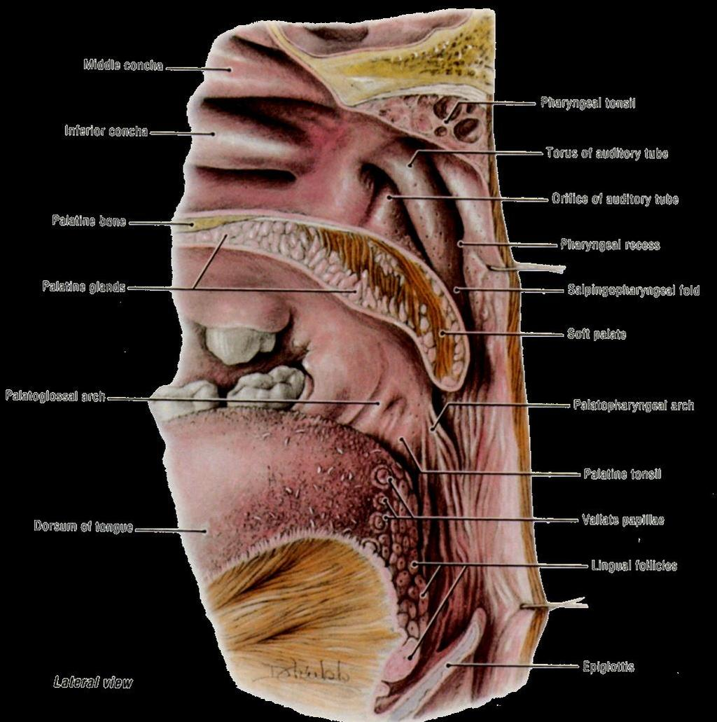 THE INTERIOR OF THE PHARYNX. By Dr. Muhammad Imran Qureshi - PDF