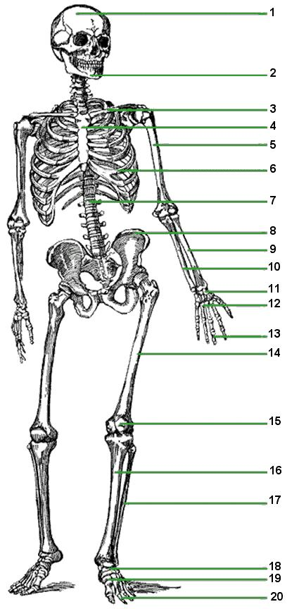 Skeletal System It S All About The Bones Pdf