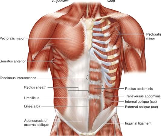 Thoracic Muscles Origin Insertion Action Innervation Pdf