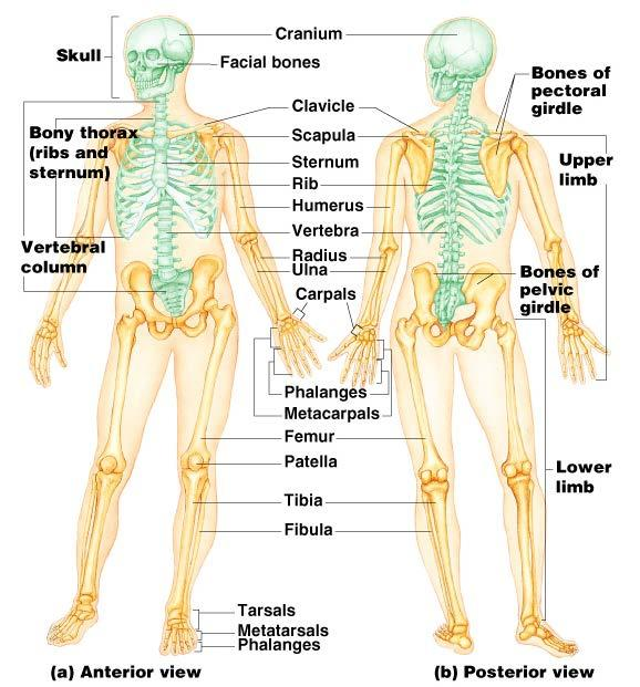 The Skeletal System ESSENTIALS OF HUMAN ANATOMY & PHYSIOLOGY PART A ...
