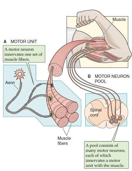 The motor unit of the skeletal muscle All skeletal muscle is under voluntary or reflex control