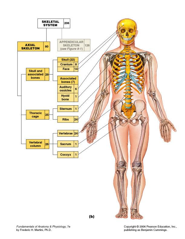 ANATOMY. Studio Pilates International all rights reserved copying ...
