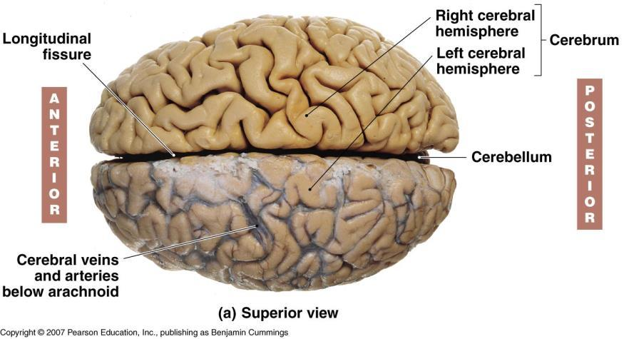 Unit 12a: The Nervous System The Brain. MDL231 Principle of Anatomy ...