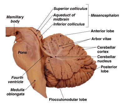 Unit 12a The Nervous System The Brain Mdl231 Principle Of Anatomy
