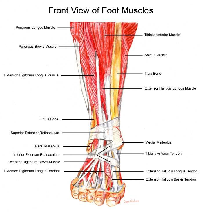 Biomechanical Effects Of Long Term Bracing Of Ankle Injuries In