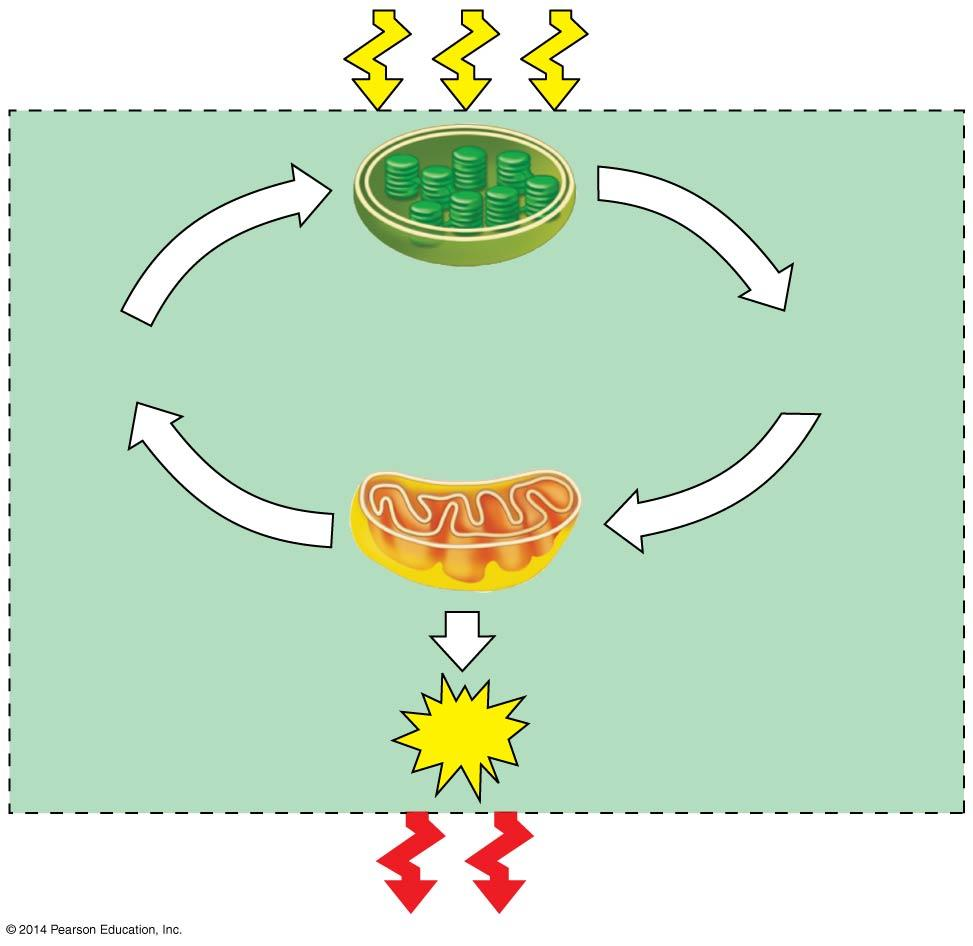 CH 7: Cell Respiration and Fermentation Overview Living cells require energy from outside sources Some animals obtain energy by eating plants, and some animals feed on other organisms Energy flows