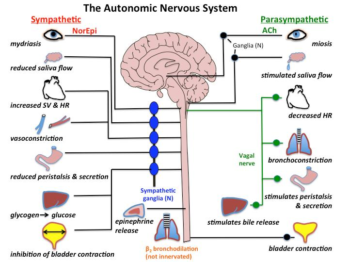 NEURONS ARE ORGANIZED INTO NERVOUS SYSTEMS PDF