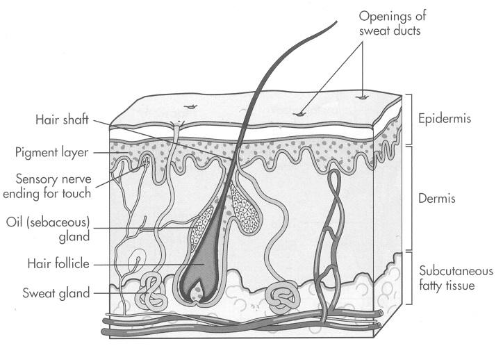 1 Integumentary System Skin Is The Largest System Pdf