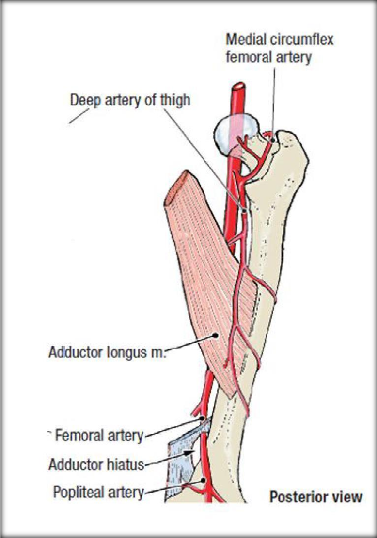 Adductor canal (Subsartorial) or Hunter s canal - PDF
