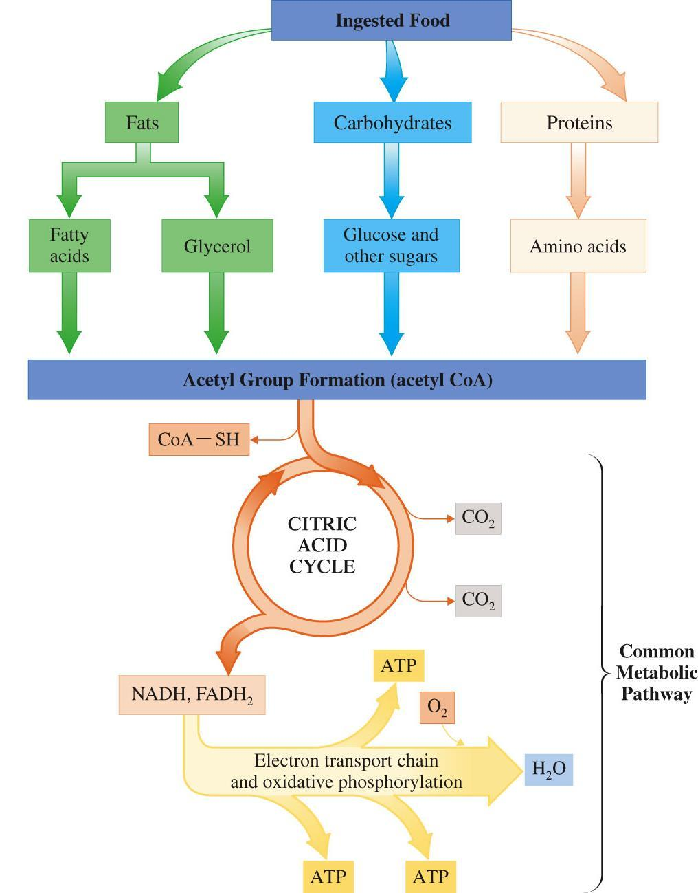Session Plan Gluconeogenesis Cori Cycle Common