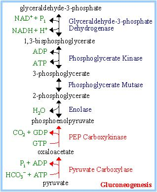 Gluconeogenesis Glycolysis produces 2 ATP. Gluconeogenesis requires equivalent of 6 ATP (4ATP & 2GTP).