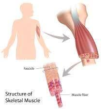 Types of Skeletal Muscle Fibre Skeletal muscles bring about movement of the body The two different types