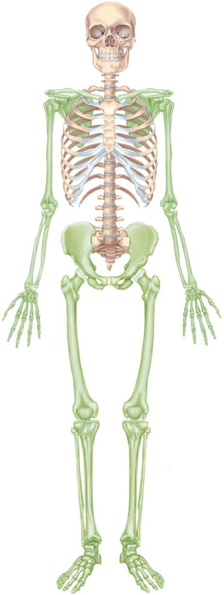 The Skeletal System Overview Of The Skeleton The Skull The