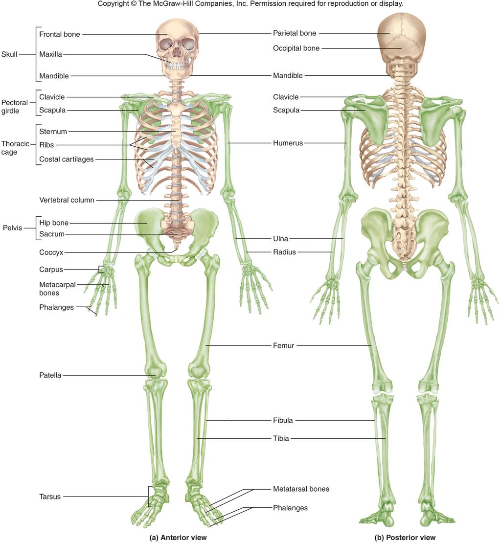 The Skeletal System. overview of the skeleton. the skull. the ...