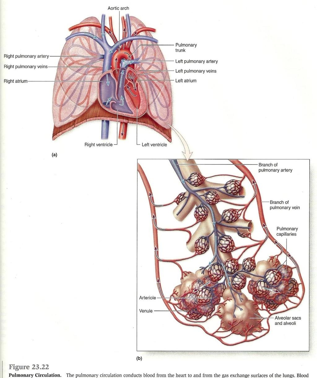 Overview of Anatomy and Physioloy II Second Year Students - PDF