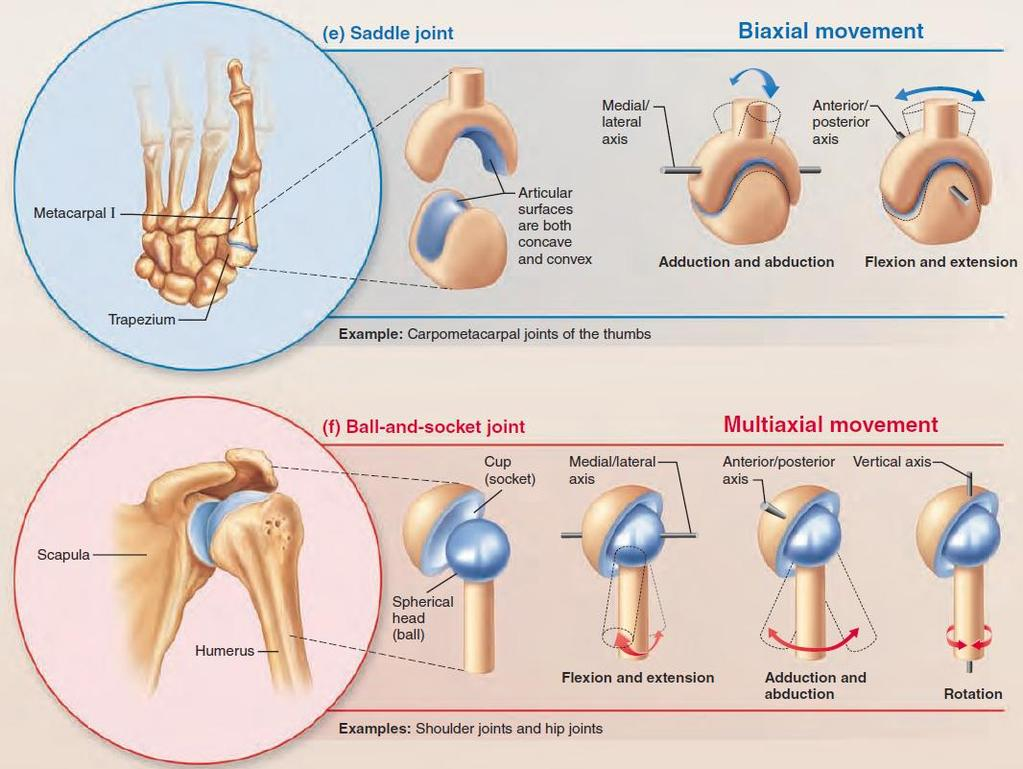 The Skeletal System Dr Naim Kittana Faculty Of Medicine Health Saddle Joint Diagram Types Synovial