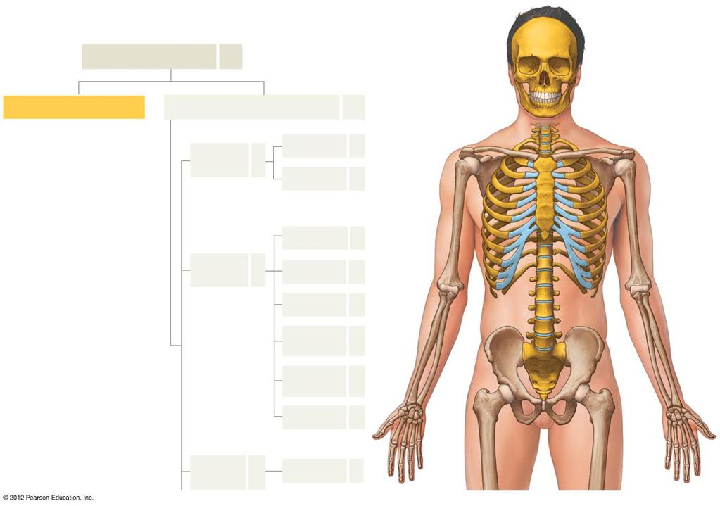 The Appendicular Skeleton - PDF