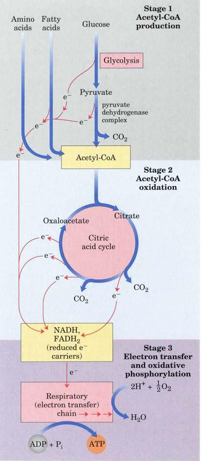 The oxidation of fatty acids yields significantly more energy per carbon atom than does the oxidation of carbohydrates.