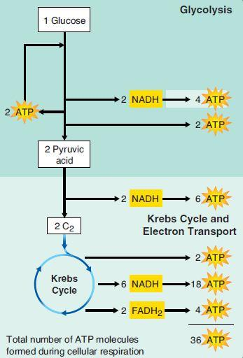 Aerobic respirations can sustain long bouts of activity because it produces much