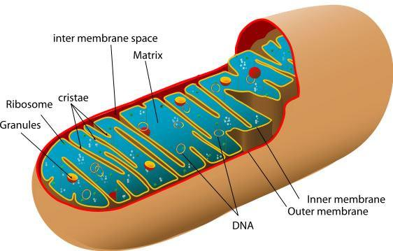 Aerobic Respiration Remember this organelle?