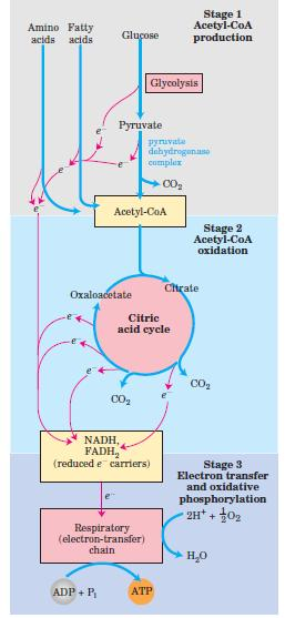 Citric acid cycle TCA (tricarboxylic acid cyclec), krebs cycle Final common pathway for breakdown of carb, prot and fats Acetylcoa derived from glc, f.