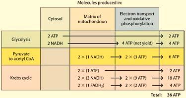 Cell Respiration - 10 Aerobic (Cellular) Respiration Summary The complete aerobic respiration of glucose requires the following: Glycolysis Pyruvate Oxidation and the Krebs cycle Electron transport