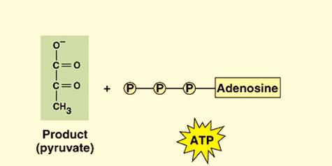 Electrons are passed through an electron transport chain to form ATP by chemiosmosis, a process sometimes called oxidative phosphorylation (or electron transport