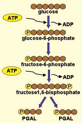 Cell Respiration - 4 Glycolysis Specifics Glucose + 2ATP + 2NAD + + 2ADP + 2P 2 Pyruvate + 2NADH + 4ATP* * Net gain of