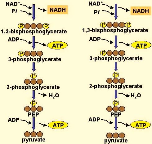 the net energy yield is 2 ATP The ATP generated is by substrate-level phosphorylation All steps are enzyme mediated
