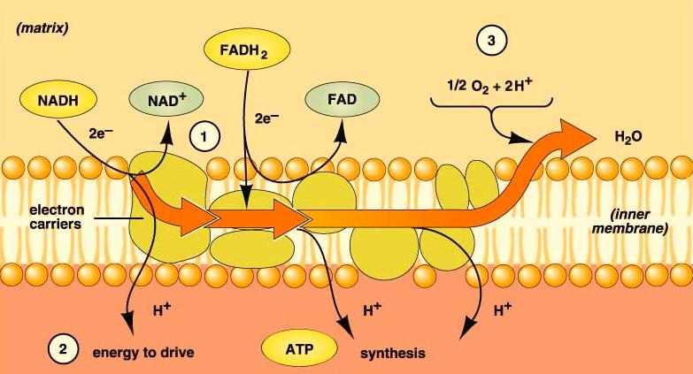 Cell Respiration - 8 Electron Transport Systems The enzymes, proteins and electron carriers needed to do electron transport are found in the inner membranes of the mitochondria.