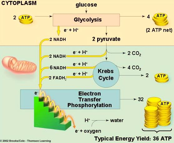 Cell Respiration - 9 How much ATP do we get from oxidizing glucose in aerobic cellular r e s p i r a t i o n?
