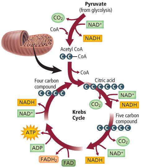 The Krebs Cycle! What goes in?! Pyruvate!Aceytl CoA! What comes out?