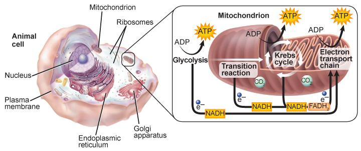 Aerobic Respiration! Aerobic cellular respiration occurs in two main parts: 1. Glycolysis!