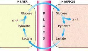 Lactic Acid Fermentation Lactic acid is metabolised by the liver into glucose It then can be transported back to cells