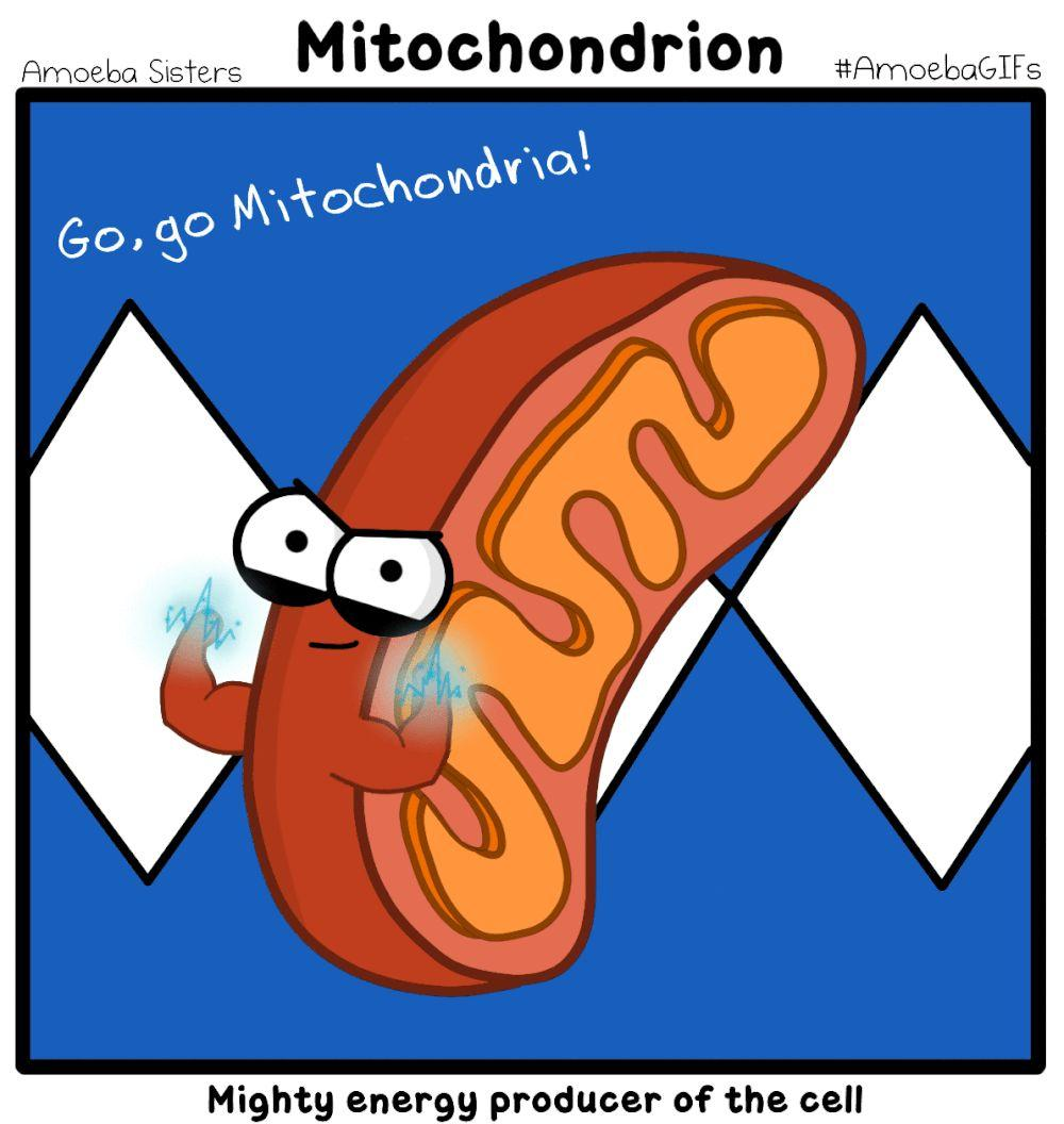 The Mitochondria - the ATP powerhouse Inner Membrane Outer Membrane Intermembrane
