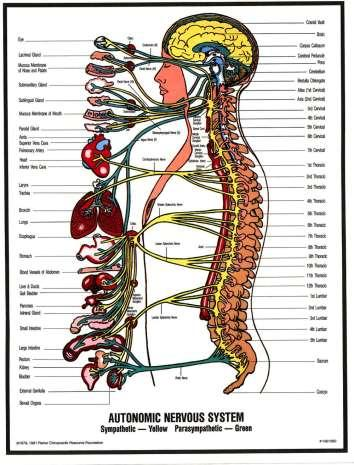 The Nervous System Nervous System Functions 1. gather sensory input 2.