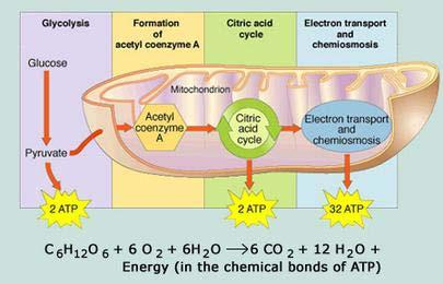 Aerobic Respiration Aerobic Respiration Requires oxygen Occurs in the mitochondria Steps of