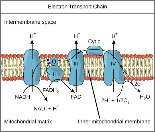 3C)Explain how high energy electrons are used by the electron transport chain. Electron Transport Chain (on cristae) animation 1. much energy in electrons held by 10 NADH 2 and 2 FADH 2 2.