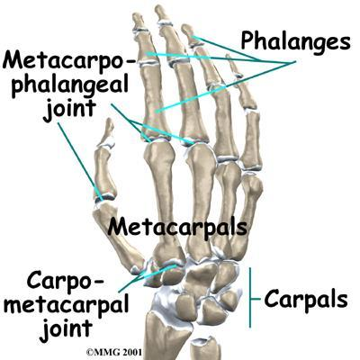 Ulnar Collateral Ligament Injuries of the Thumb Game Keeper s Thumb ...