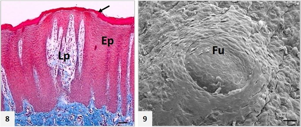 Lm And Sem Studies On Tongue And Lingual Papillae In The Donkey