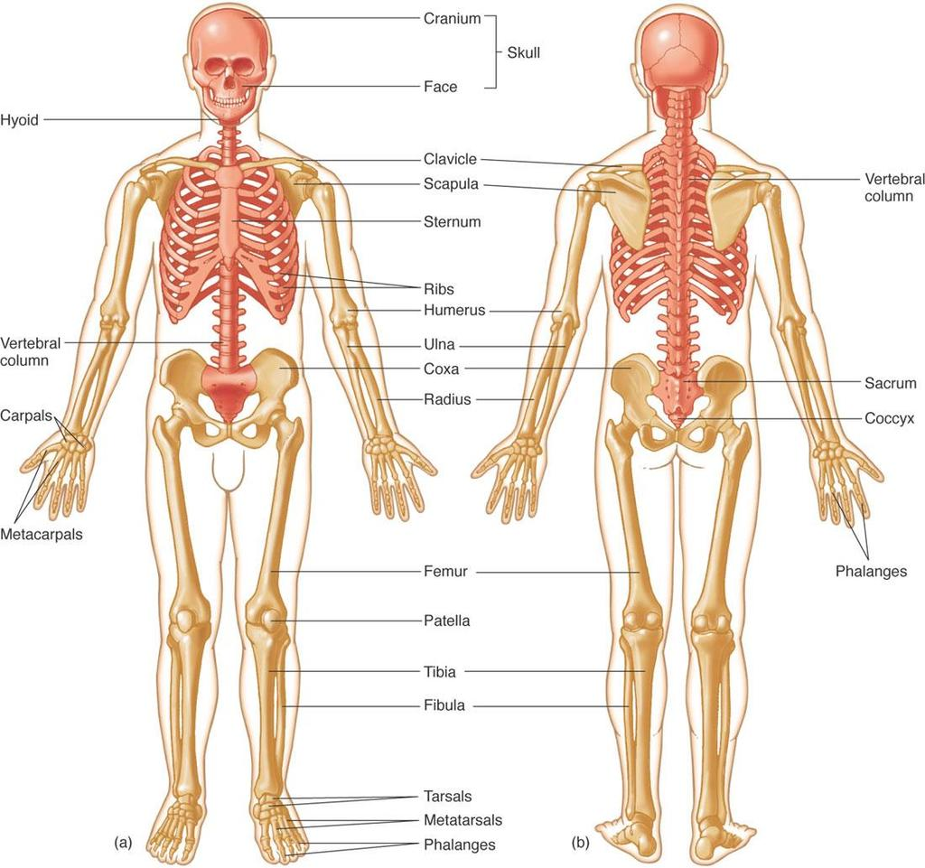 Skeletal System By Mr Danilo Villar Rogayan Jr Pdf