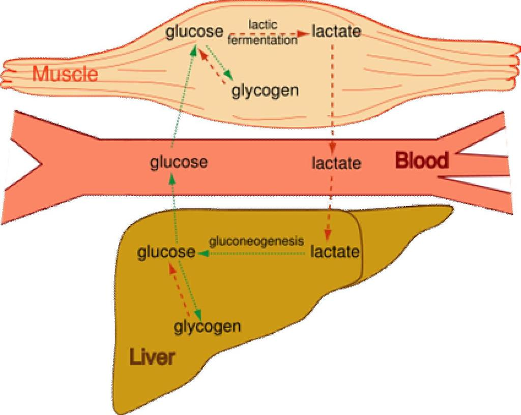 Pyruvate s Options Anaerobic produces Lactate in muscles Cori cycle: converts muscle lactate to glucose in the liver Muscle can then obtain glucose to