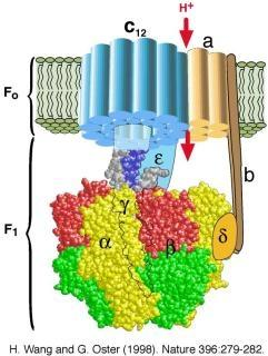 7/19/2014 How is ATP made using the ETC 1. In the mitochondria, the and FADH donate electrons to the electron transport chain (ETC) 2. Oxygen is the final electron acceptor from the ETC 3.