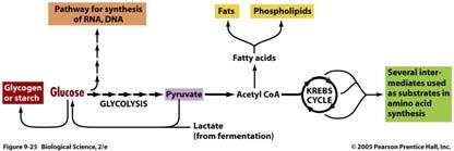 phosphorylation ~ 38 ATP created per one glucose molecule Glucose = 686 kcal/mol ATP = 7.