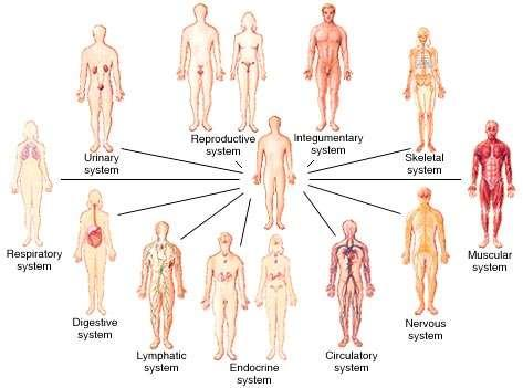 Cells Tissues Organs Organ Systems Organism Cells The Smallest