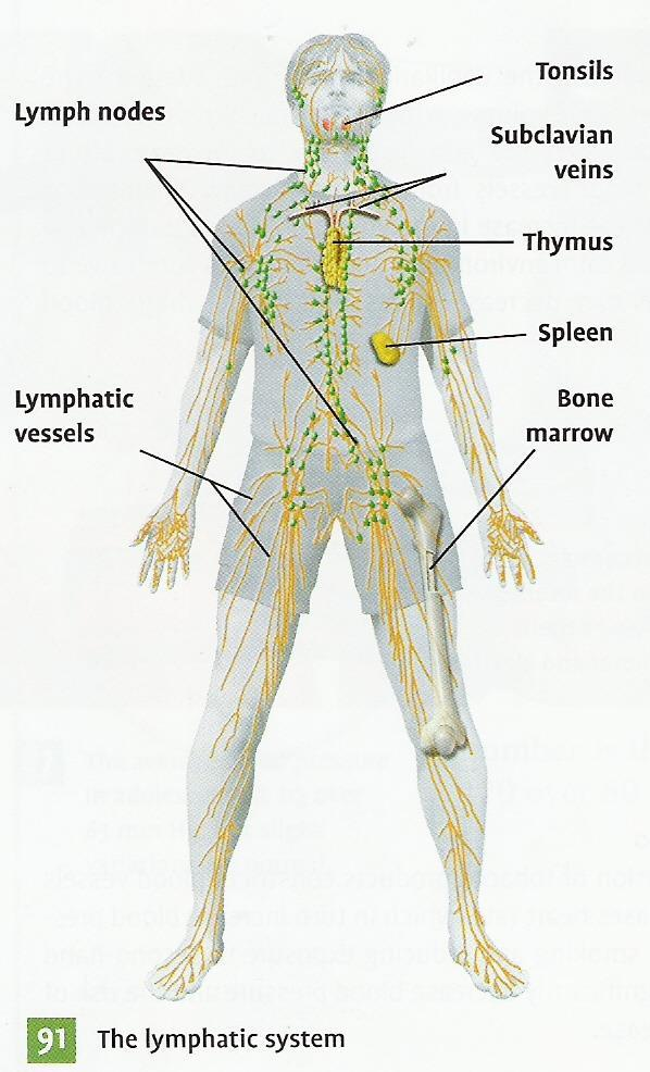 The Lymphatic System - PDF